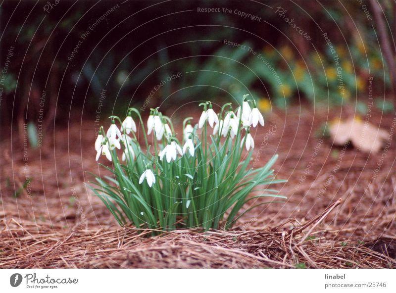 Zärtlichkeit in wieß Schneeglöckchen Blume Frühlingsblume zart weiß Ferne Unschärfe Tele
