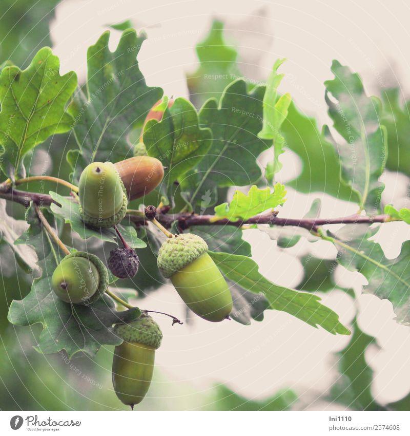 Eicheln Natur Pflanze grün weiß Baum Blatt Wald schwarz gelb Herbst Garten braun grau Park Feld Zweig