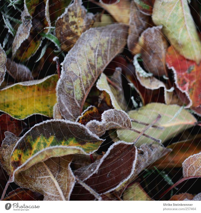 Naturkunst 5 Umwelt Pflanze Herbst Eis Frost Baum Blatt Grünpflanze fallen frieren glänzend leuchten liegen ästhetisch kalt natürlich mehrfarbig Vergänglichkeit