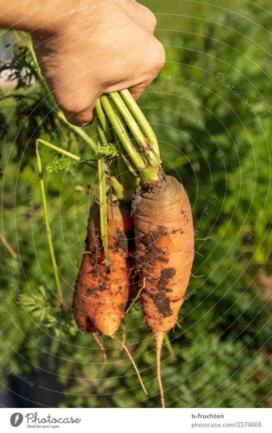 Karotten aus der Erde ziehen Lebensmittel Gemüse Bioprodukte Vegetarische Ernährung Gesunde Ernährung Garten Gartenarbeit Landwirtschaft Forstwirtschaft Hand