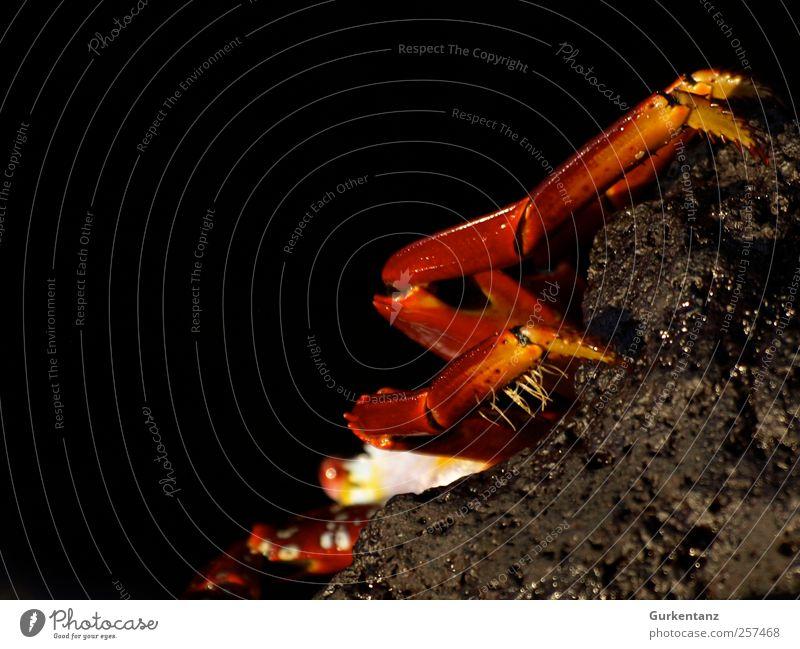 Kathrin Krabbe Strand Tier 1 krabbeln Blick stachelig rot Krebs Sally Lightfoot Galapagosinseln Baltra Santa Cruz Reptil Neugier skeptisch verstecken