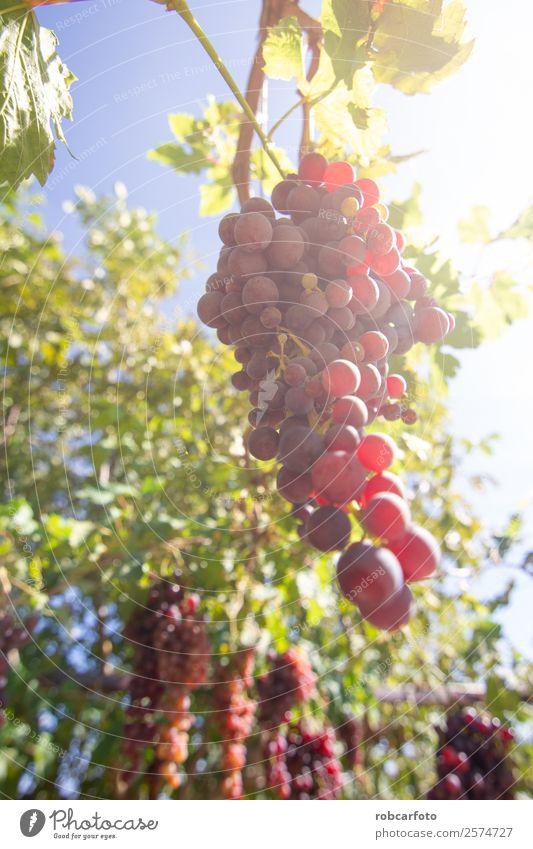 Natur Sommer grün Landschaft Sonne rot schwarz Herbst Frucht frisch Wachstum Italien Bauernhof Ernte reif ländlich