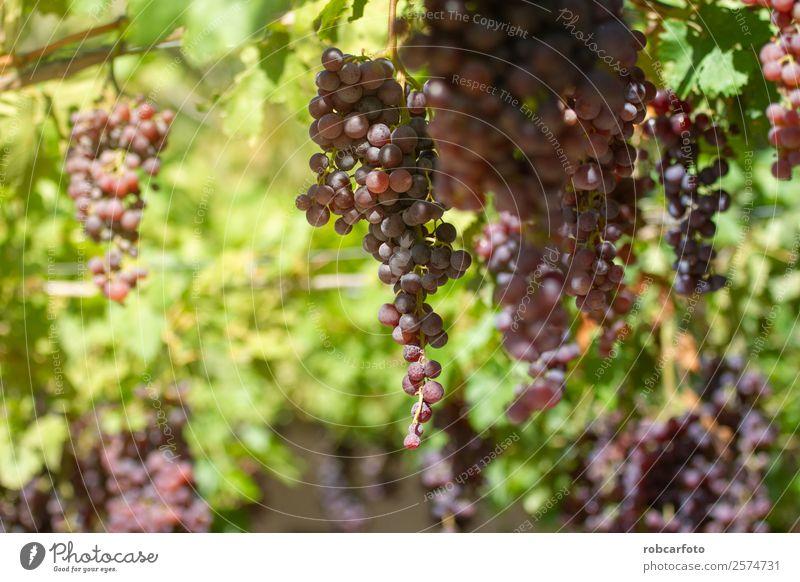 Trauben auf dem Feld Frucht Sommer Sonne Natur Landschaft Herbst Wachstum frisch grün rot schwarz Weinberg Ernte Weintrauben Weingut Napa Tal Hintergrund