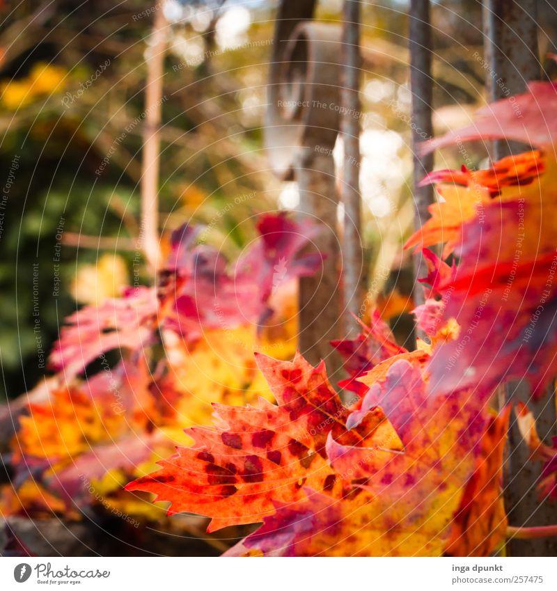 Feuerwerk Umwelt Natur Pflanze Herbst Sträucher Blatt Grünpflanze Nutzpflanze Wildpflanze Wein Ranke Pflanzenteile Herbstlaub Balkon Terrasse Geländer