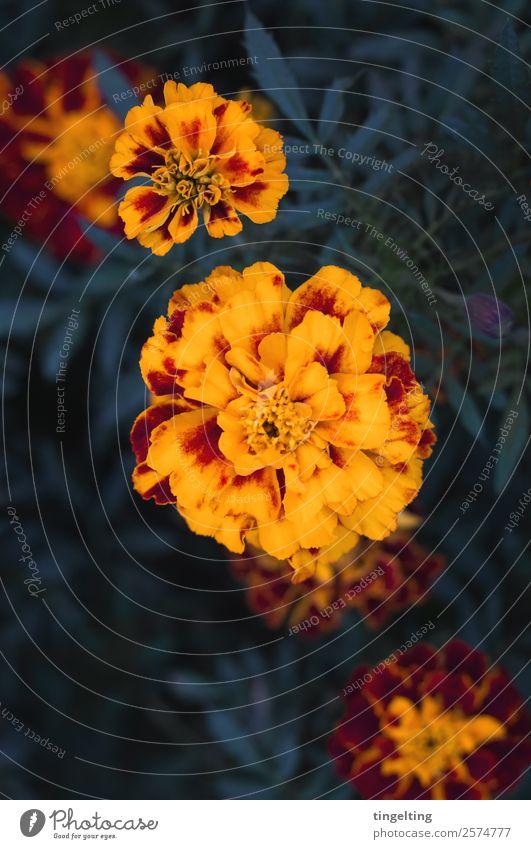 sie leuchten ruhig Natur Pflanze Blume Blatt Blüte Garten natürlich gelb grün rot Blütenblatt Zauberwald Vorgarten Vogelperspektive Farbfoto Gedeckte Farben