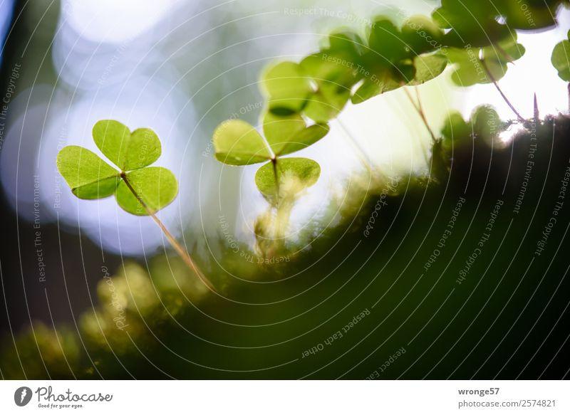 Kleeblätter im Gegenlicht Natur Pflanze Sommer Herbst Blatt Grünpflanze Wald Wachstum natürlich braun grau grün Kleeblatt Waldboden Waldlichtung Makroaufnahme