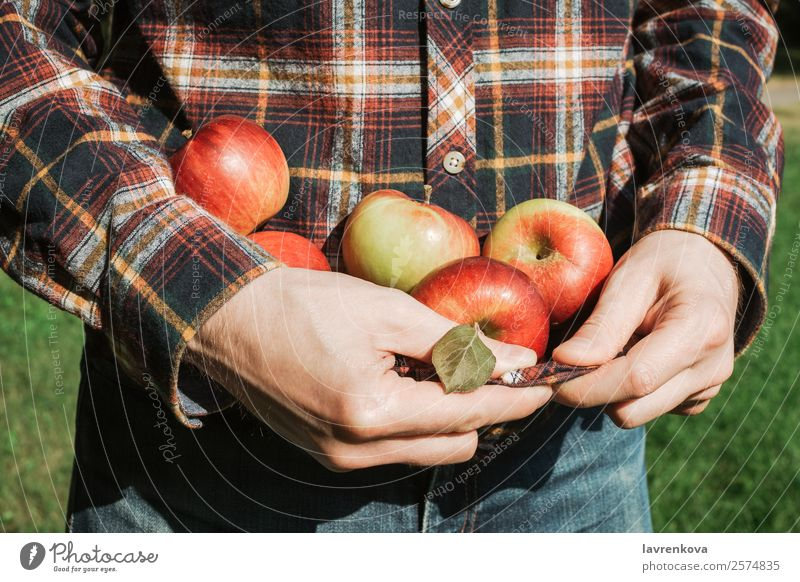 Mann hält reife rote Äpfel in kariertem Hemd. geschmackvoll Halt saftig Apfel Landwirtschaft Herbst Nahaufnahme Essen zubereiten kochen & garen Diät Finger