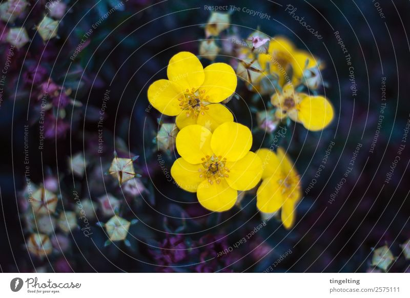 sie leuchten Garten Natur Pflanze Blume Blatt Blüte Duft zart gelb violett Blütenknospen sanft Farbfoto Gedeckte Farben Außenaufnahme Textfreiraum links