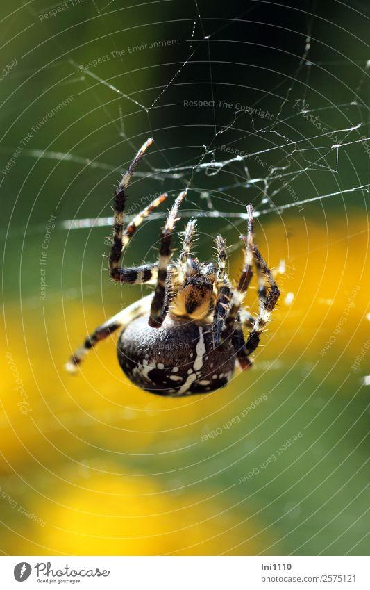 Kreuzspinne Natur Tier Sonnenlicht Herbst Schönes Wetter Garten Park Feld Wald Spinne 1 gelb grün schwarz weiß Spinnennetz Spinnenbeine spinnen Gegenlicht