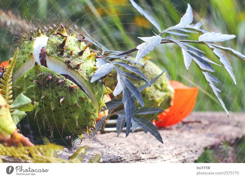 Kastanien Natur Pflanze Herbst Schönes Wetter Blatt Garten Park Feld blau braun gelb grau grün orange weiß Holunderblatt Physalis geplatzt stachelig Hülle