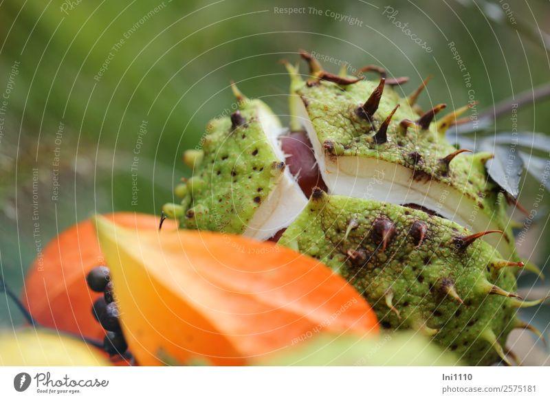 aufgeplatzte Kastanie Pflanze grün Wald schwarz gelb Herbst Garten orange braun grau Dekoration & Verzierung Park Feld frisch Schönes Wetter Teilung