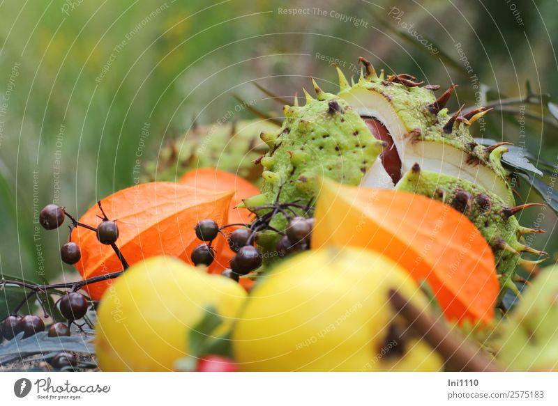 Kastanien Physalis Quitten Natur Pflanze Herbst Garten Park Feld Wald braun mehrfarbig gelb grün orange schwarz weiß Holunderbeeren Stachel geplatzt