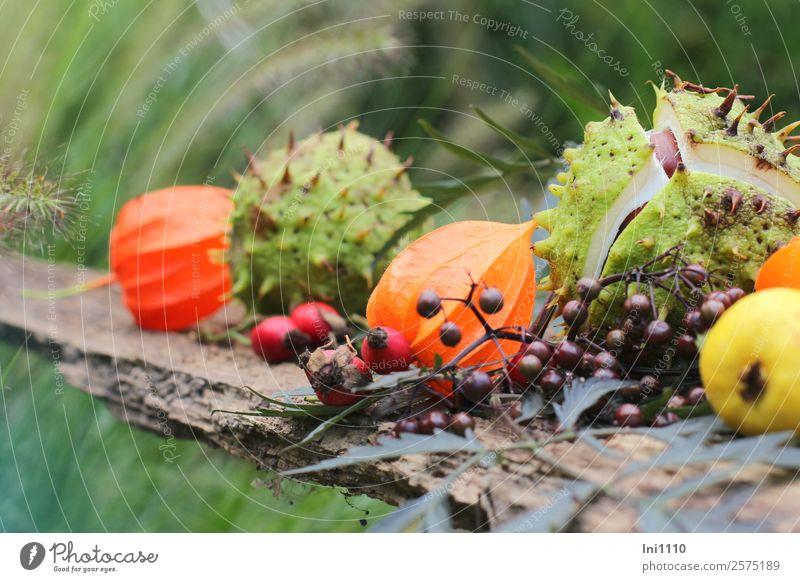 Kastanien Physalis Holunder Natur Pflanze Herbst Sträucher Blatt Garten Park Feld braun gelb grau grün orange rot schwarz weiß Quitte Hagebutten Herbstfärbung