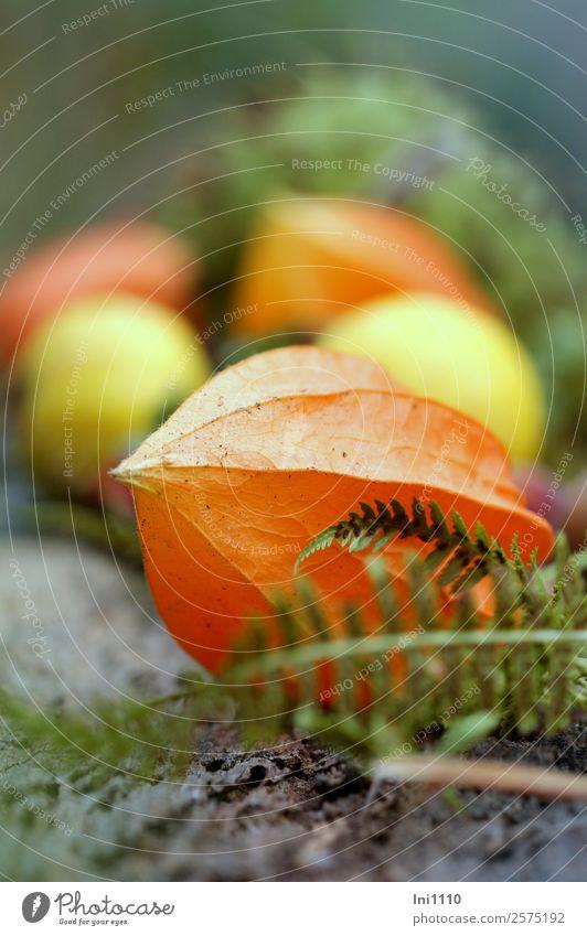 Physalis Natur Pflanze Herbst Blüte Garten gelb grau grün orange Dekoration & Verzierung herbstlich Lampionblume Blütenstauden Farnblatt leuchten Farbfoto