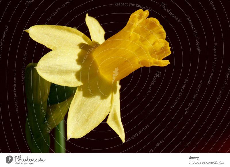 gelbe verführung gelb Frühling Blüte Blühend Narzissen Blume Pflanze