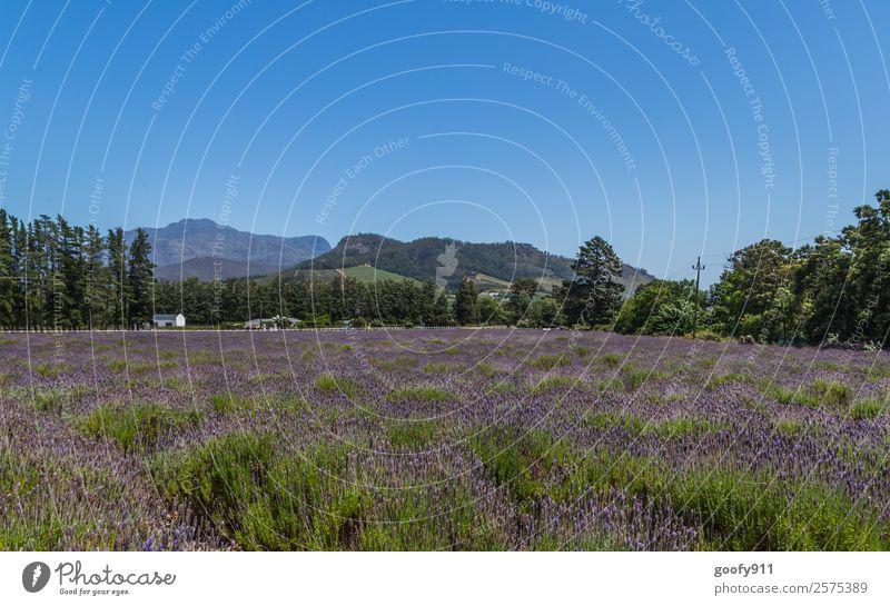 Lavendelfeld in Franschhoek Südafrika Natur Ferien & Urlaub & Reisen schön Landschaft Einsamkeit Ferne Berge u. Gebirge Umwelt Glück Tourismus Freiheit Ausflug