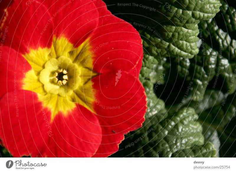 rotes versprechen grün Blatt gelb Frühling Blüte Blühend Wiesenblume Kissen-Primel