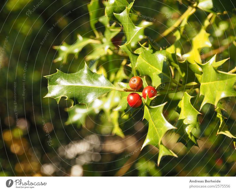 Stechpalme Ilex aquifolium Sommer Winter Weihnachten & Advent Natur Pflanze Sträucher Tradition holly berry Hintergrundbild red berries leaf green bush natural