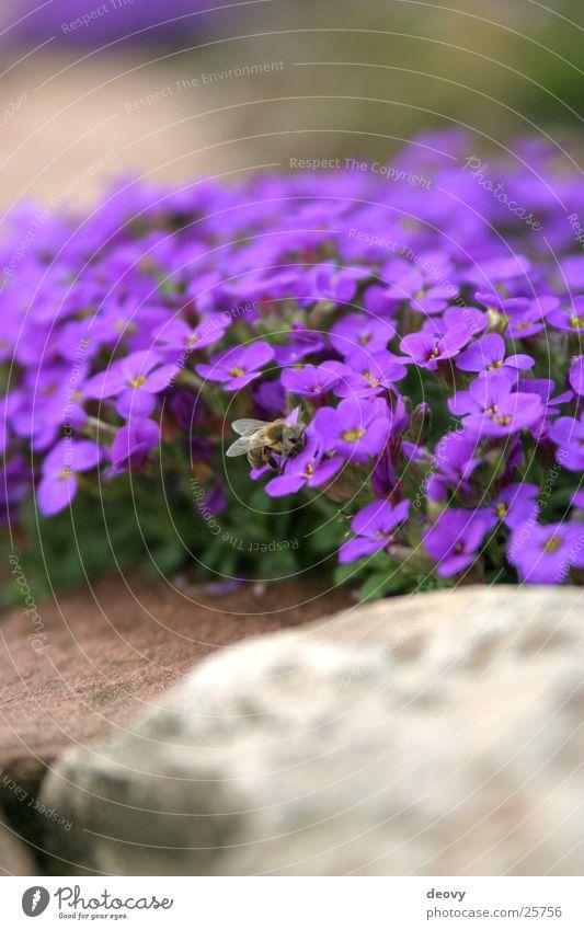 Gartenblau Natur Blume Blüte Stein Mauer klein Biene Berg-Steinkraut