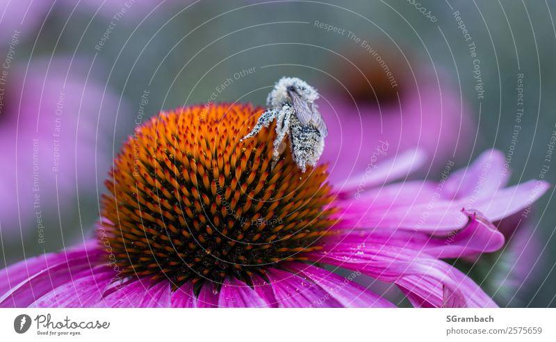 Bestäubte Biene auf Sonnenhut Umwelt Natur Pflanze Tier Frühling Sommer Klima Blume Blüte Garten Park Wildtier Gesundheit nachhaltig natürlich rosa Schutz