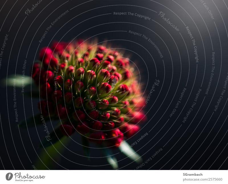 Purpur Scabiose Natur Sommer Pflanze schön rot Blume Erholung Einsamkeit ruhig Leben Umwelt Liebe Frühling Blüte Garten Kraft