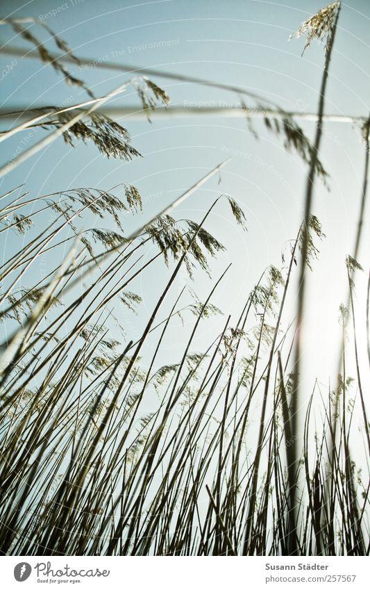 Spiekeroog | relight. Himmel Natur Pflanze Gras Feld Sträucher Nordsee dünn Schilfrohr aufwärts Wolkenloser Himmel Seegras