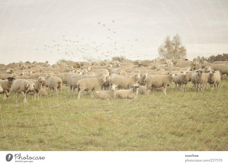 pfälzer schafe Natur Tier Wiese Vogel stehen Tiergruppe Fell Zusammenhalt Wolle Nutztier