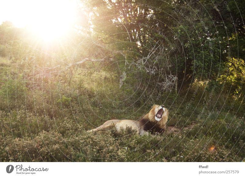 Guten Morgäääähn Baum Pflanze Sonne Ferien & Urlaub & Reisen ruhig Tier Ferne Erholung Freiheit Gras Zufriedenheit liegen wild Abenteuer Wildtier Sträucher