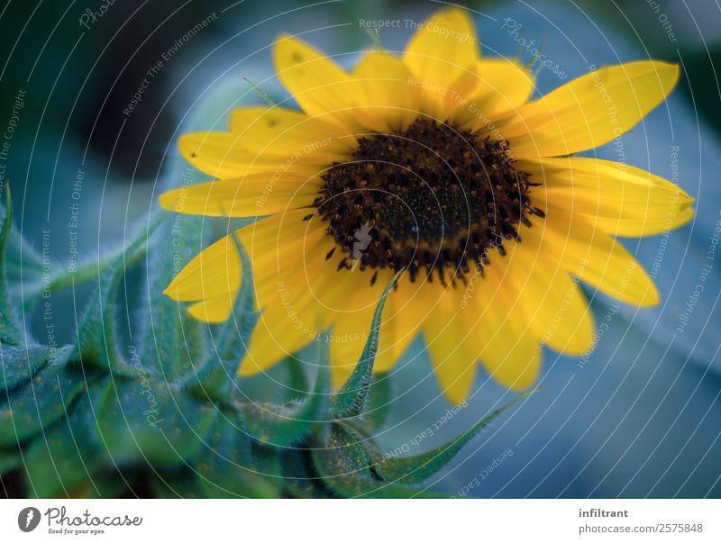 Sonnenblume Natur Sommer Pflanze schön grün Blume ruhig Leben gelb Umwelt Blüte natürlich ästhetisch Idylle Lebensfreude Umweltschutz