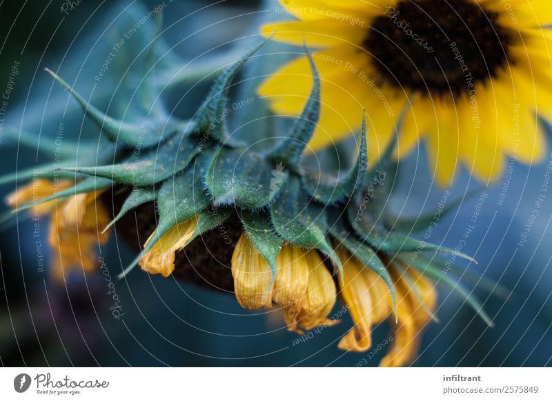 Sonnenblume Natur Pflanze Sommer Blume Blüte Nutzpflanze ästhetisch natürlich gelb grün schön Leben Reinheit ruhig Umwelt Umweltschutz Farbfoto Außenaufnahme