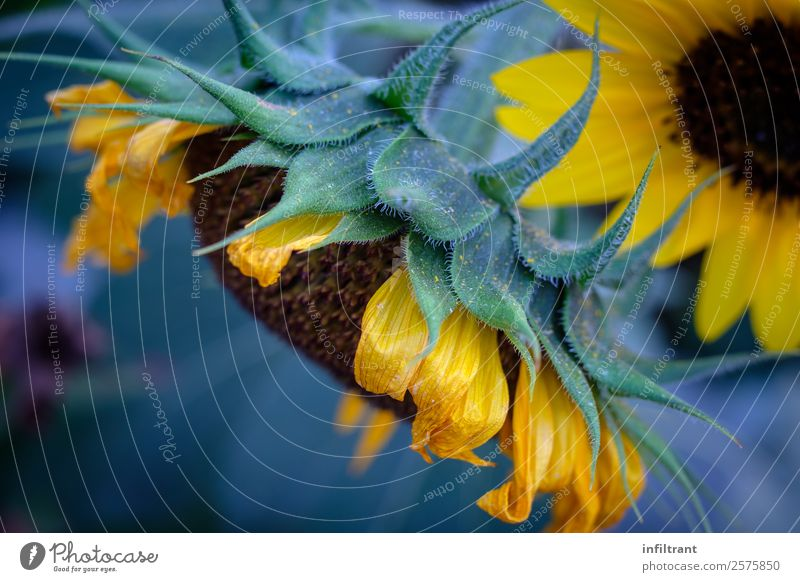 Sonnenblume Pflanze Blume Blüte natürlich gelb grün ruhig Leben Natur Umwelt Umweltschutz Wachstum Farbfoto Außenaufnahme Nahaufnahme Menschenleer