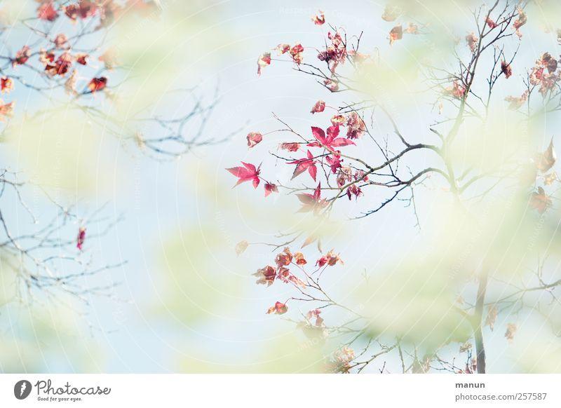 Blattspitzen Natur Frühling Herbst Zweige u. Äste Ahorn Ahornzweig Ahornblatt authentisch außergewöhnlich hell natürlich Farbfoto Außenaufnahme Menschenleer