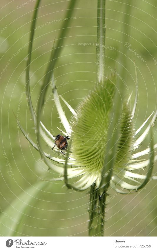 distelkäfer grün Blüte Insekt Neugier Stengel Käfer Stachel Distel
