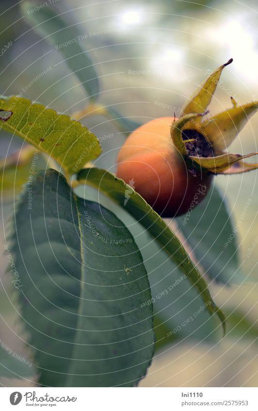 Hagebutte XXL Natur Pflanze Herbst Blume Blatt Rosenblätter Hagebutten Garten Park rund braun gelb grau grün orange türkis groß herbstlich Farbenspiel Samen