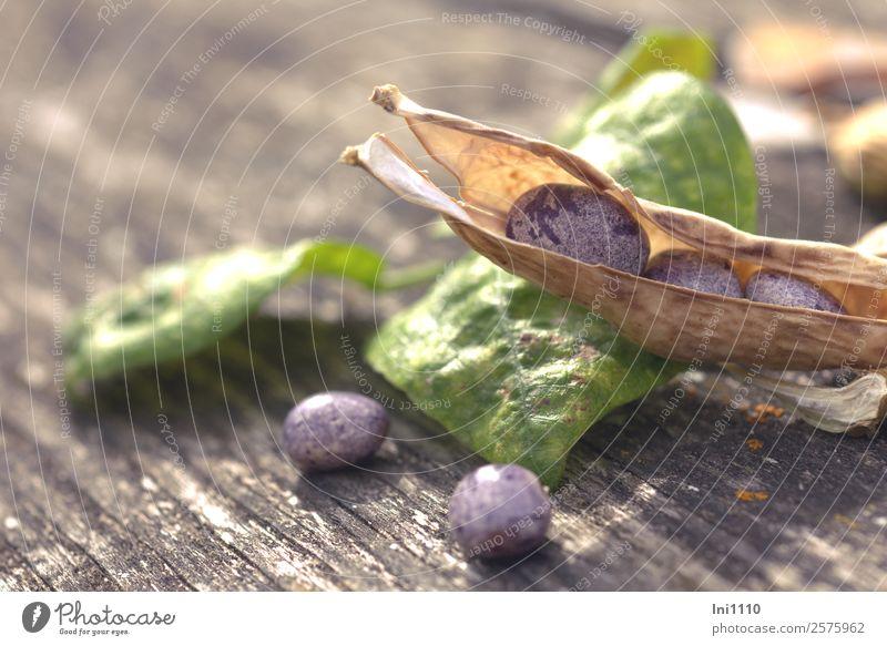 Stangenbohnen Gemüse Bohnen Natur Pflanze Herbst Schönes Wetter Garten braun gelb grau grün violett schwarz weiß Bohnenkeime Stab Gemüsesuppe Aussaat trocknen