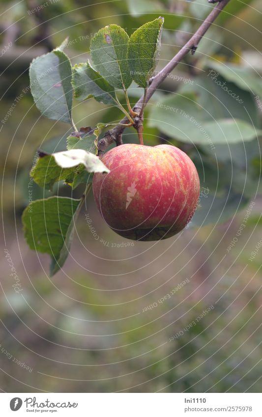 Apfel Lebensmittel Frucht Ernährung Bioprodukte Natur Pflanze Herbst Baum Blatt Nutzpflanze Garten braun gelb grau grün violett rot weiß Gesunde Ernährung