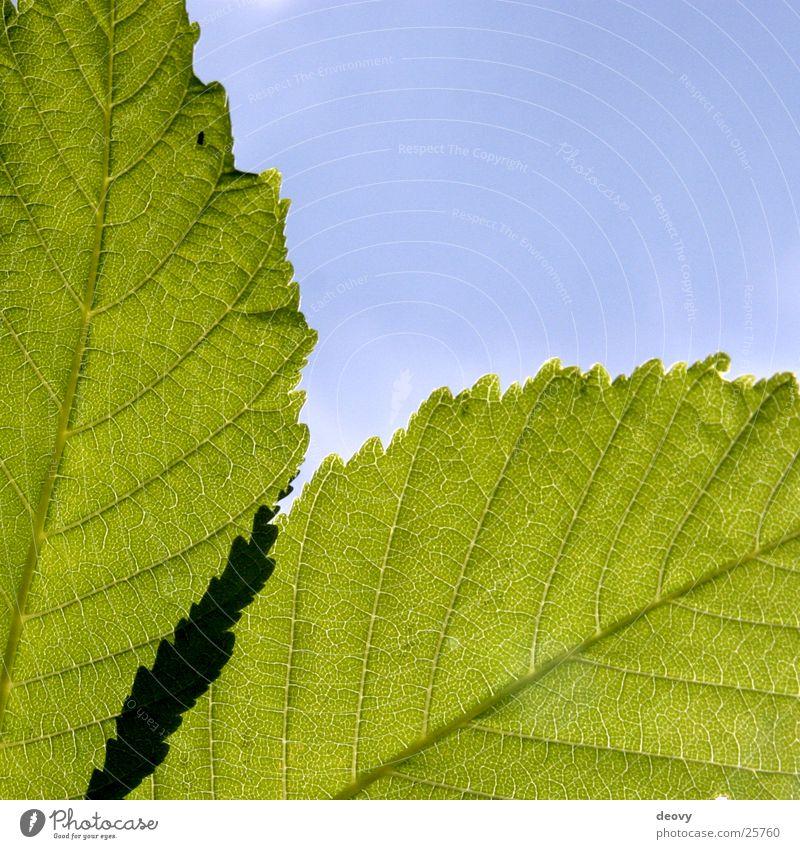 Blattgrün Himmel Baum grün blau Blatt Kastanienbaum