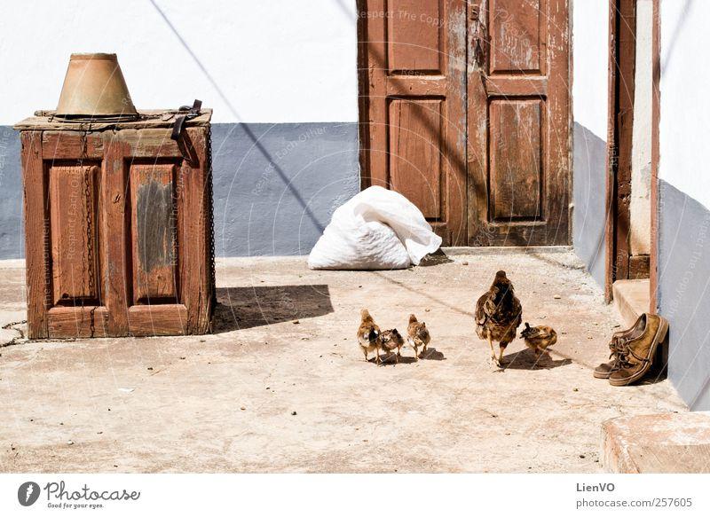 Landleben Tier Sommer Dürre Wiese La Palma Altstadt Menschenleer Fassade Terrasse Schuhe Nutztier Stein Holz authentisch einfach braun grau Lebensfreude