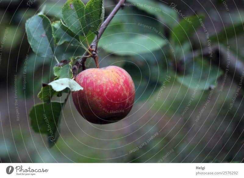 Nahaufnahme eines reifen roten Apfels, der an einem Zweig mit Blättern hängt Lebensmittel Frucht Ernährung Bioprodukte Vegetarische Ernährung Umwelt Natur
