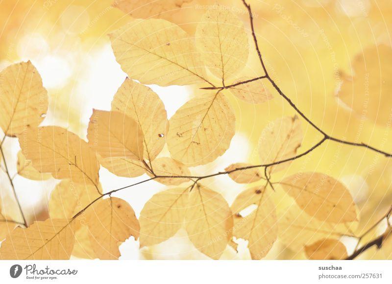 herbstblätter III Natur schön Blatt Umwelt gelb Herbst Klima Licht Muster