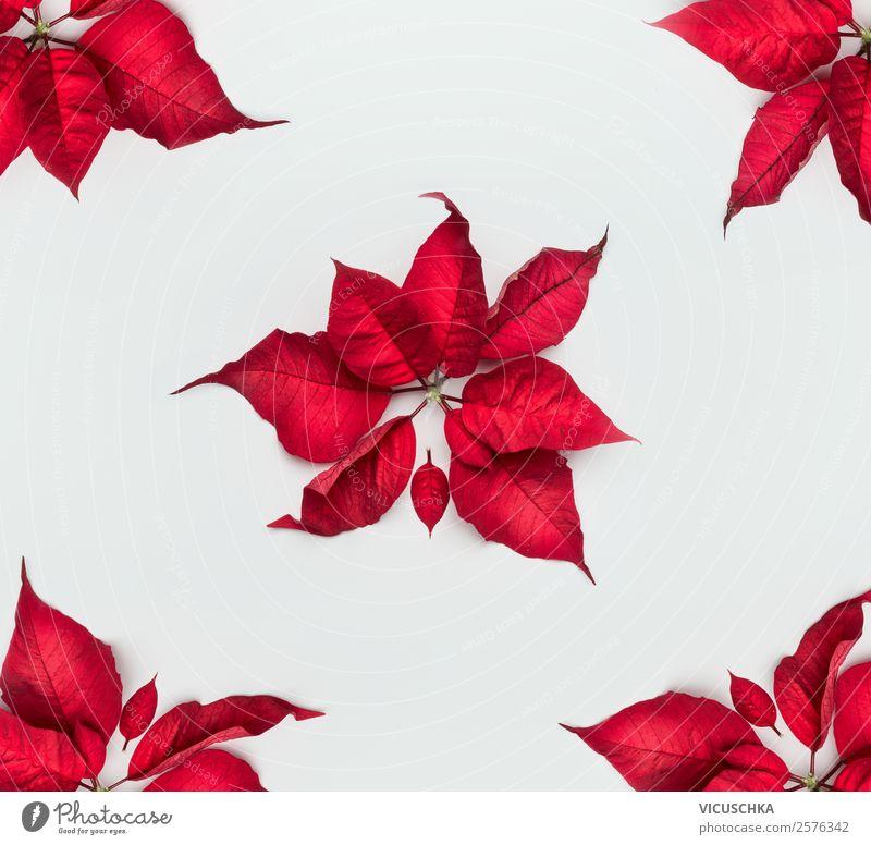 Weihnachtsstern oder Adventsstern rote Blätter auf weiß - ein ...