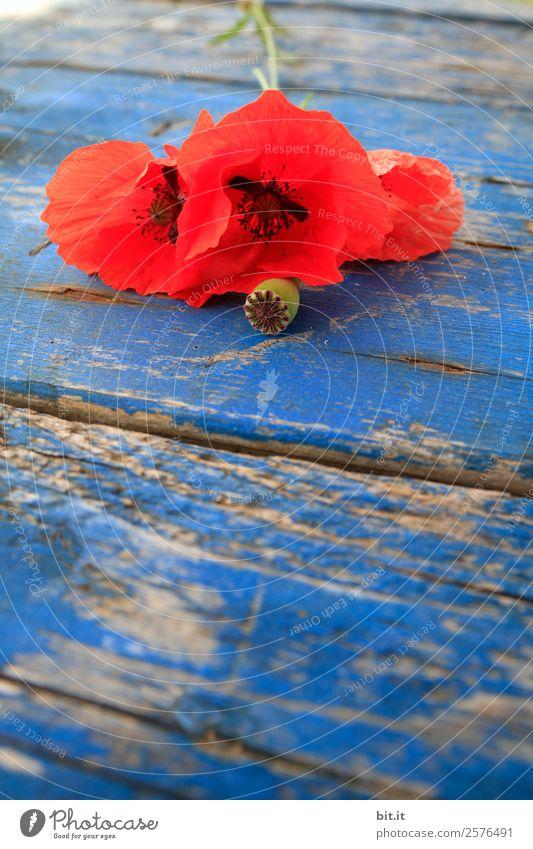 Rote, blühende Mohnblumen auf blauem Holztisch. Gesundheit Alternativmedizin Rauschmittel Erholung ruhig Ferien & Urlaub & Reisen Feste & Feiern Erntedankfest