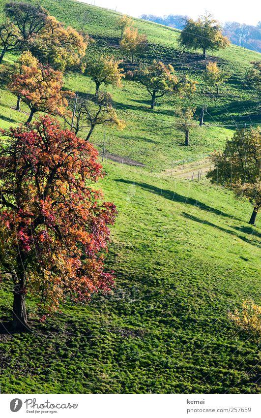 Herbstobstbäume Natur grün Baum Pflanze Blatt Herbst Wiese Umwelt Landschaft Gras Garten Wachstum leuchten viele Hügel Schönes Wetter