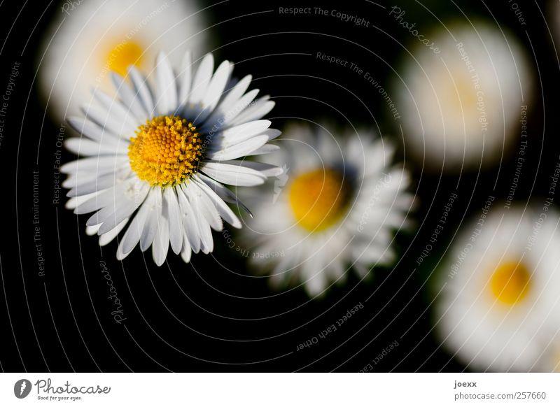Margritli Natur Pflanze Frühling Sommer Blume Blühend gelb schwarz weiß Gänseblümchen Farbfoto Außenaufnahme Nahaufnahme Menschenleer Hintergrund neutral Tag
