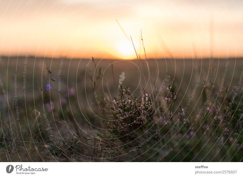 heide Landschaft Pflanze Sonnenaufgang Sonnenuntergang Schönes Wetter Sträucher Moos ruhig Heidekrautgewächse Lüneburger Heide Farbfoto Außenaufnahme