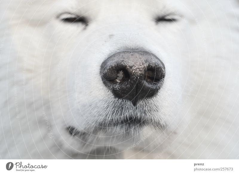 Schnuff Tier Haustier Nutztier Hund Fell 1 Blick weiß Schlittenhund Nase Nahaufnahme Kopf Detailaufnahme Farbfoto Menschenleer Schwache Tiefenschärfe