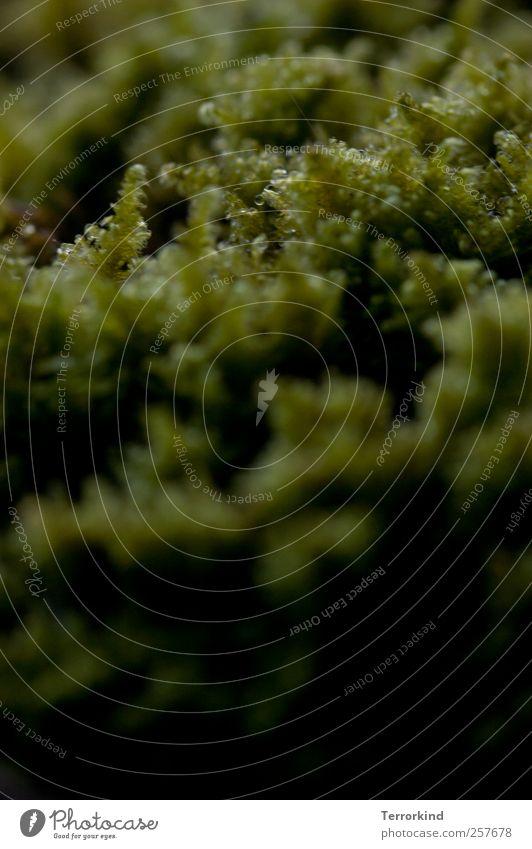 Chamansülz 2011 | moosmensch. Moos grün Pflanze Wachstum durcheinander klein nah Makroaufnahme Schwache Tiefenschärfe