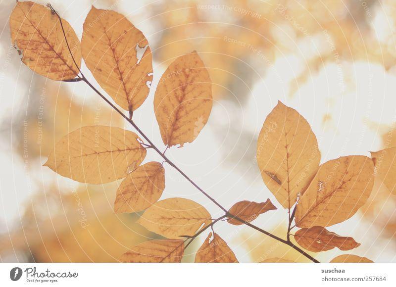 herbstblätter IV Natur Blatt Umwelt Herbst Luft gold Klima Blattadern Pflanze