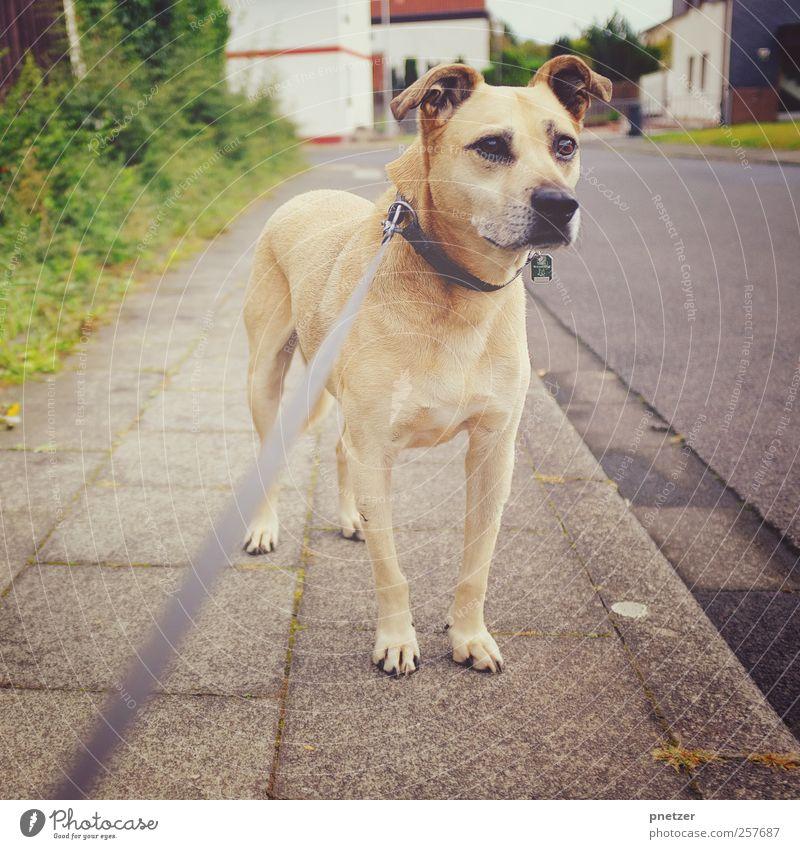 Jonny Kleinstadt Haus Tier Haustier Hund 1 Gefühle beobachten Blick Hundeleine Hundehalsband Wege & Pfade Bürgersteig Hecke Ohr hören beige Nase Wachsamkeit
