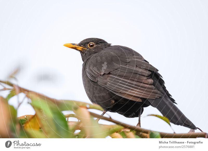 Amsel im Herbstlaub Natur grün Sonne Baum Tier Blatt schwarz gelb Umwelt Auge natürlich orange Vogel glänzend Wildtier